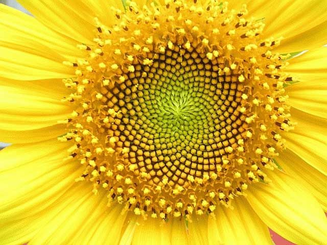 psychedelic-fashion-clothing-trippy-t-shirt-seed-of-life-sunflower-whorl-sacred-geometry